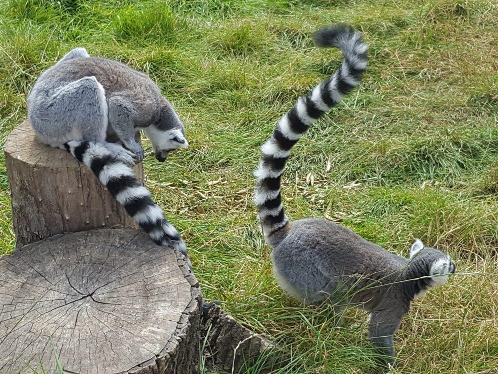 Lemurs 1