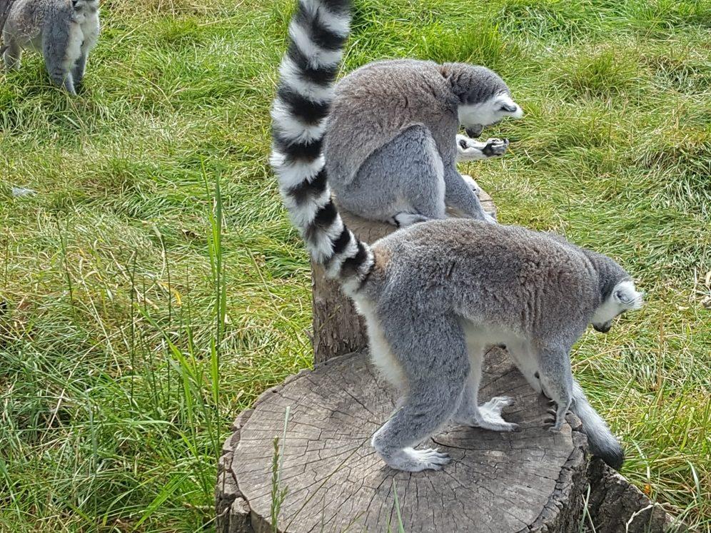 Lemurs 3