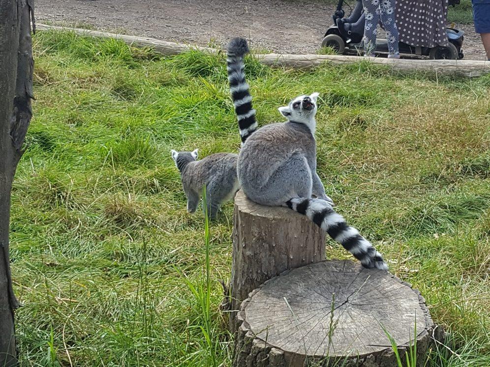 Lemurs 4