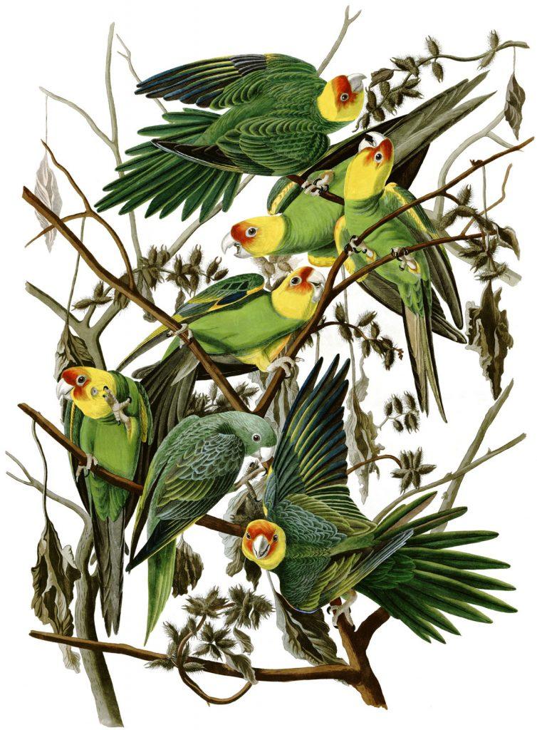 audubon-parrots